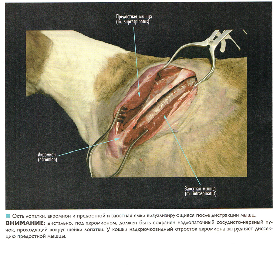 Иллюстративный атлас оперативных доступов к костям и суставам собак и кошек. Грудные и тазовые конечности